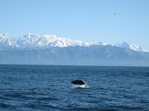 Sperm_whale_diving_(C)_sheilaellen_flickr.jpg